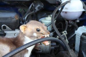 Marder beisst in das Kabel im Motorraum